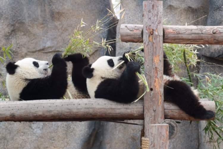http://hot.online.sh.cn/images/attachement/jpeg/site1/20180329/IMGf48e3894467147232454813.jpeg /enpproperty-->   周到君通过搜索发现,此次不是大熊猫妈妈思雪和芊芊首次繁殖。思雪 出生于2006年,母亲白雪是一只来自野外的大熊猫。思雪第一次产仔是2012年,诞下的是双胞胎。2015年7月12日,思雪第二次产仔,幼仔为雌性,体重167克。思雪曾经参与大熊猫野化培训项目。