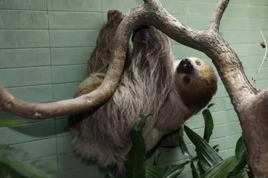 上海动物园的树懒