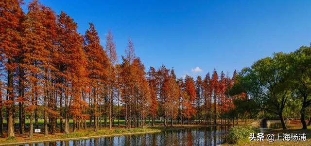 《【无极2平台最高奖金】在这深秋时节,共青森林公园美成了童话!》