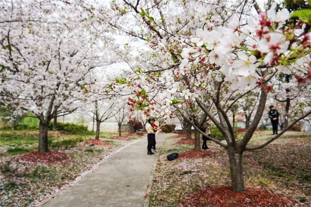 《【无极2平台代理】这个春天,在上海顾村公园,做一场十里樱花梦》